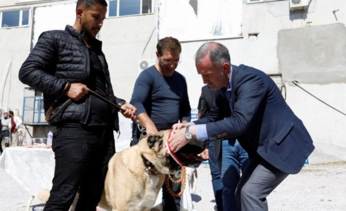 Bursa İnegöl'de çoban köpekleri de madalya için yarıştı