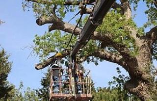 İzmir Güzelbahçe'de tarihi ağaçlara bakım